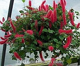 Acalypha repens