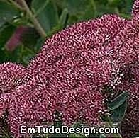 sedum spectabile septemberglut