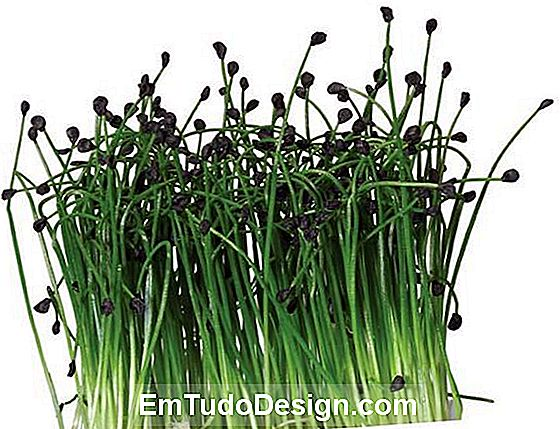 Rock Chives® av Koppert Cress