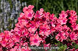 Phlox windsor