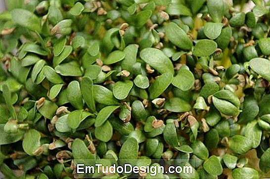 De Fenugreek-plant