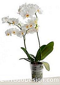Orchidea in vaso