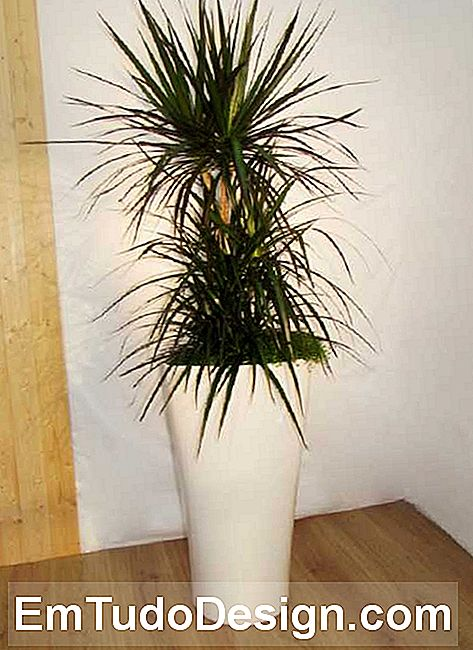 De dracena marginata, van classicplatns.co.uk