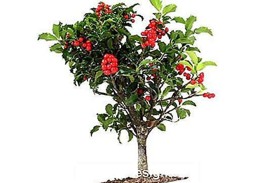 Holly bonsai de Flob