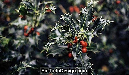 Plantas para presentear o Natal Holly