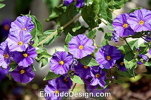 Ornamental solanum