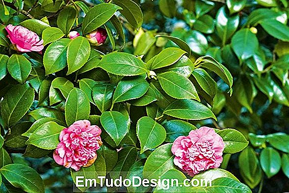 Grow Camellias